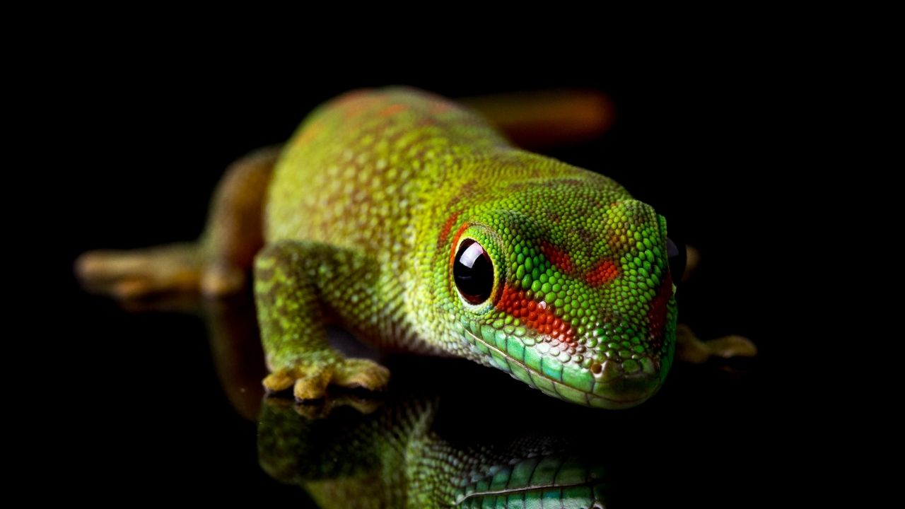 Gecko Spiritual Meaning - What Does Seeing This Lizard