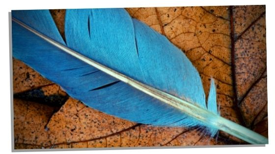 Image of a blue jay feather