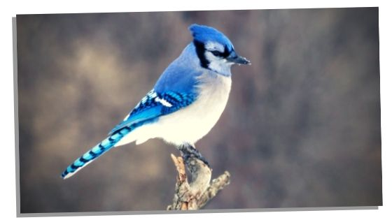 other meanings of seeing a blue jay