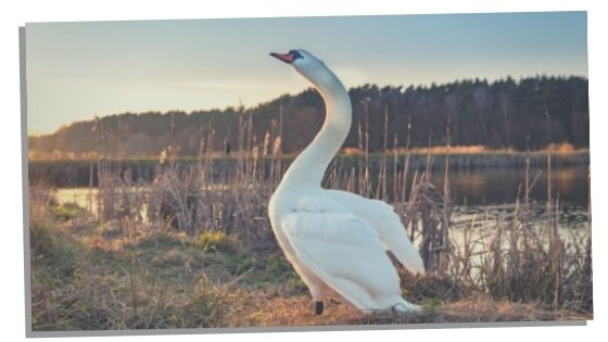 swan meaning in mythology and folklore