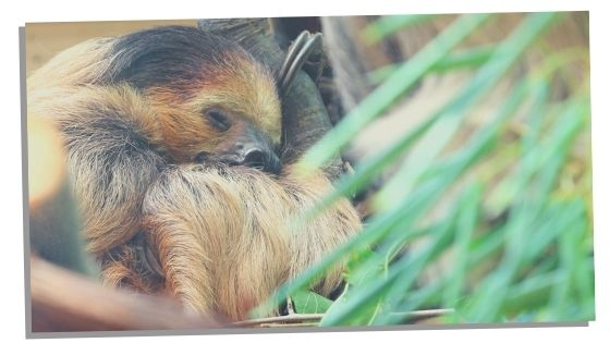 dreaming of a sloth
