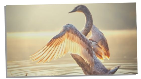 Spiritual Significance Of Swans