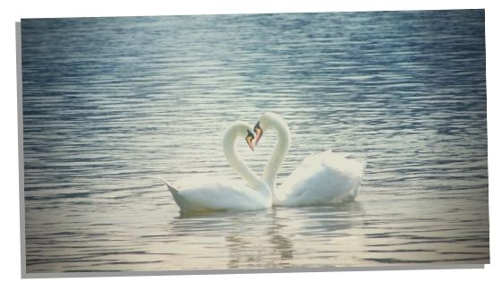 swan spirit animal and what it represents