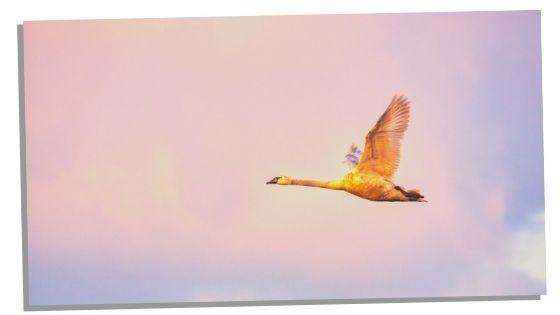 swan spirit animal
