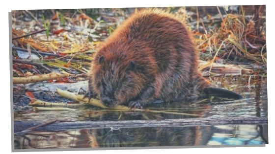 Beaver Spirit Animal Traits
