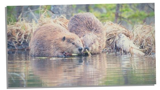 beaver spirit animal love