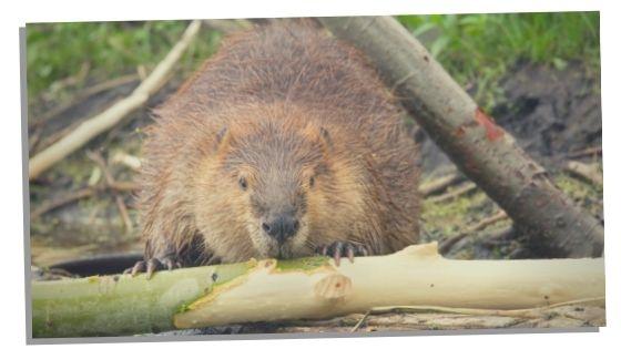 beaver spirit animal and folklore