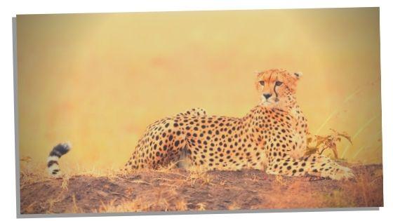 Cheetahs In Mythology