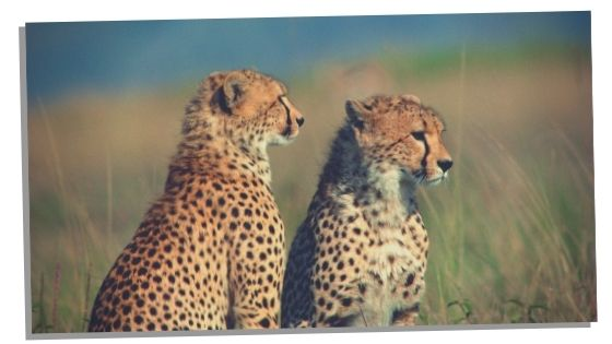 Cheetahs other messages