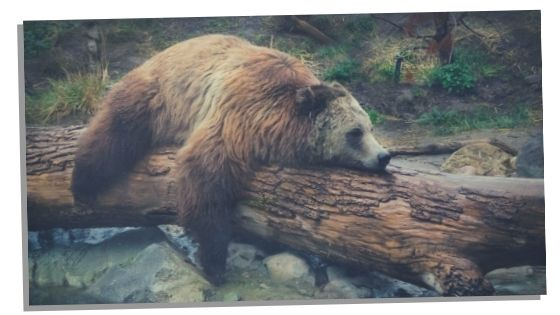 seeing bears and hibernation