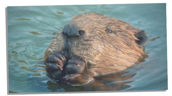 Spiritual Meaning Of The Beaver