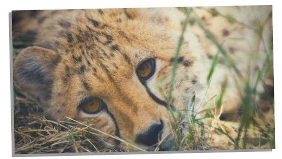 cheetahs spiritual meaning