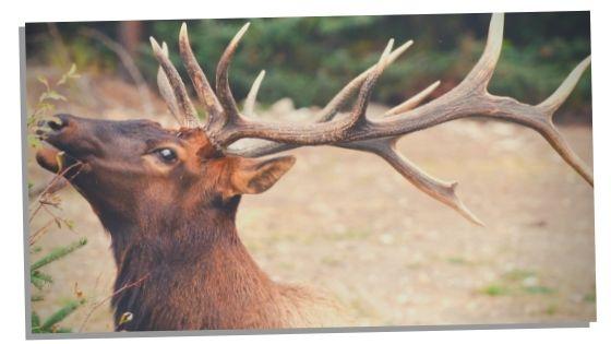 Elks in Mythology, Folklore, And Native Cultures