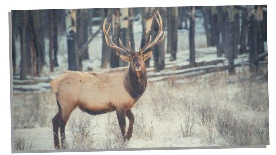 positive traits Elk spirit animal